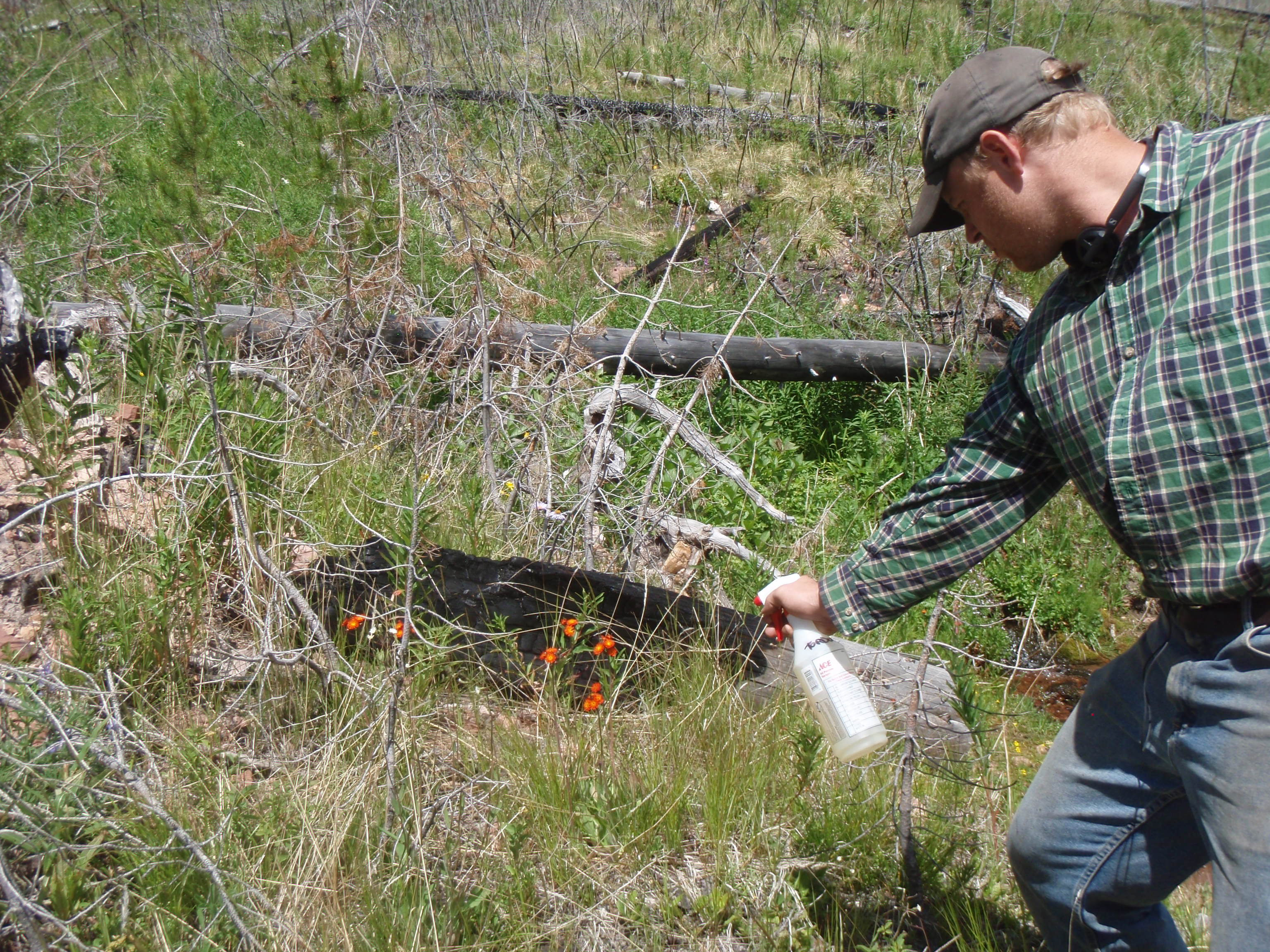 Leif Fredrickson spraying orange hawkweed with herbicide from handsprayer